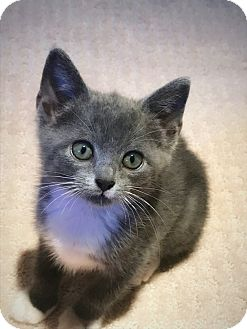 Domestic Shorthair Kitten for adoption in Nashville, Tennessee - Sabrina