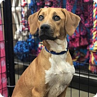 Adopt A Pet :: Betty - Westminster, CO