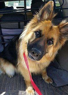 German Shepherd Dog Dog for adoption in Guthrie, Oklahoma - Ansel