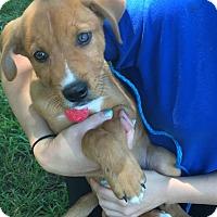 Adopt A Pet :: Lewis - Berkeley Heights, NJ