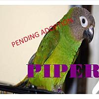 Adopt A Pet :: Piper The Dusty Conure - Vancouver, WA