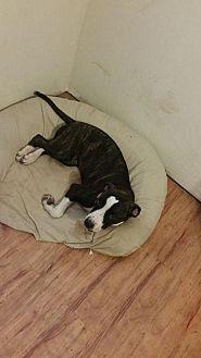 Pit Bull Terrier Mix Dog for adoption in Phoenix, Arizona - freya