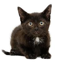 Domestic Shorthair/Domestic Shorthair Mix Cat for adoption in Adrian, Michigan - T-Bone
