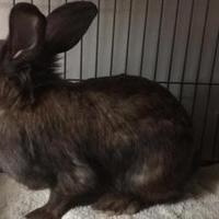 Adopt A Pet :: Alice - Edmonton, AB