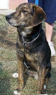 Australian Shepherd/Beagle Mix Puppy for adoption in Stockport, Ohio - Hogie
