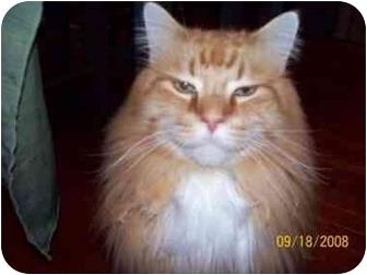 Maine Coon Cat for adoption in Rochester Hills, Michigan - Pumpkin