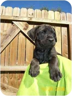 Boxer/Labrador Retriever Mix Puppy for adoption in Albany, Georgia - Suzy Q