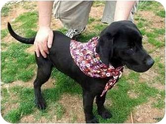 Labrador Retriever Mix Dog for adoption in Dahlonega, Georgia - Web