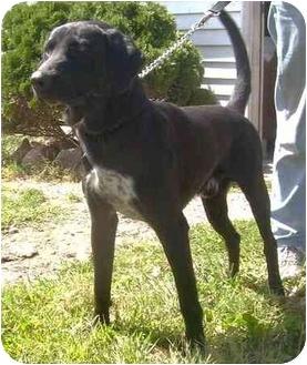 Labrador Retriever Mix Dog for adoption in Metamora, Indiana - Jester