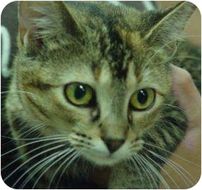 Domestic Shorthair Cat for adoption in Oshkosh, Wisconsin - Mittens