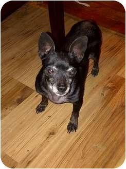 Chihuahua Dog for adoption in Spring City, Tennessee - Vodka Twist