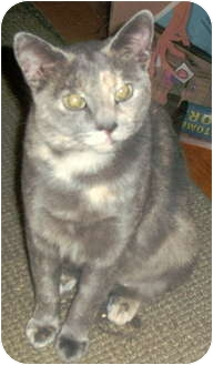 Domestic Shorthair Cat for adoption in Trenton, New Jersey - Carly (in foster)