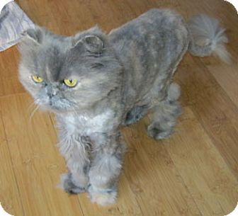 Persian Cat for adoption in Davis, California - Sophie