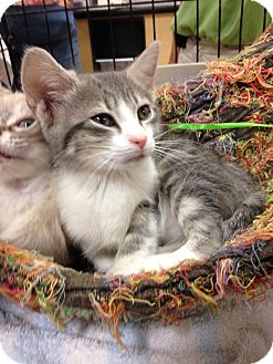 Domestic Shorthair Kitten for adoption in Fort Lauderdale, Florida - Cassidy