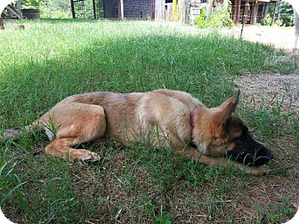 German Shepherd Dog Puppy for adoption in Roswell, Georgia - Gretchen (Guest)