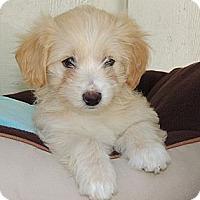 Adopt A Pet :: Sochi - La Habra Heights, CA