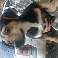 Miniature Pinscher/Beagle Mix Dog for adoption in Prestonsburg, Kentucky - koko