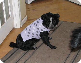 Labrador Retriever/Australian Shepherd Mix Dog for adoption in Minneapolis, Minnesota - Leila