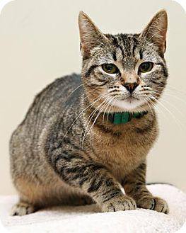 Domestic Shorthair Cat for adoption in Bellingham, Washington - Marcie