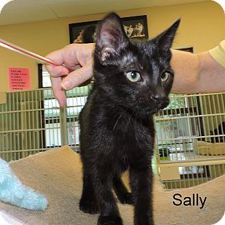 Domestic Shorthair Kitten for adoption in Slidell, Louisiana - Sally