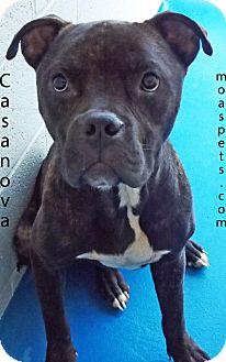 Pit Bull Terrier Mix Dog for adoption in Danielsville, Georgia - Casanova
