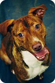 Pit Bull Terrier/Terrier (Unknown Type, Medium) Mix Dog for adoption in Fort Smith, Arkansas - Iris