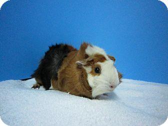 Guinea Pig for adoption in Aurora, Colorado - Maxine