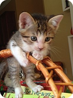 Domestic Shorthair Kitten for adoption in Tampa, Florida - Ivan