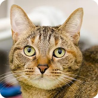 Domestic Shorthair Cat for adoption in Adrian, Michigan - Sunshine