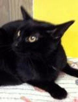 Domestic Shorthair Cat for adoption in Porter, Texas - Bristol