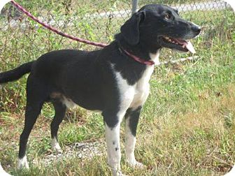 Labrador Retriever/Beagle Mix Dog for adoption in Canton, Ohio - Sam