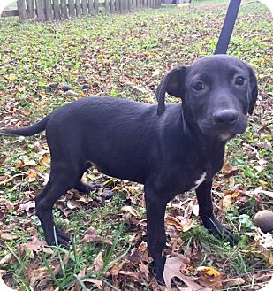 Labrador Retriever Mix Puppy for adoption in Waldorf, Maryland - Chewy