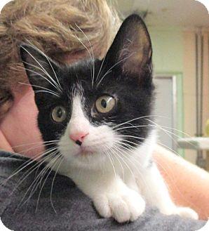 Domestic Shorthair Kitten for adoption in Reeds Spring, Missouri - Estelle