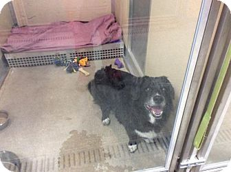 Border Collie/Corgi Mix Dog for adoption in Janesville, Wisconsin - Excalibur
