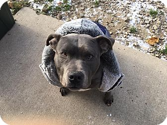 American Pit Bull Terrier Dog for adoption in Flat Rock, Michigan - Zola