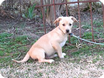 Dachshund/Terrier (Unknown Type, Medium) Mix Puppy for adoption in Newburgh, New York - KIPP