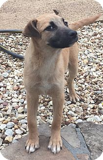 German Shepherd Dog/Labrador Retriever Mix Puppy for adoption in Fishkill, New York - BONNIE