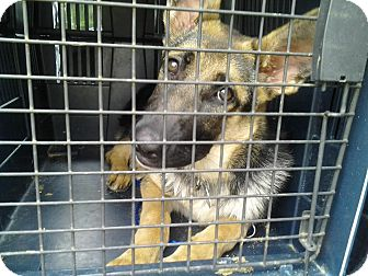 German Shepherd Dog Puppy for adoption in East Hartland, Connecticut - Fergie