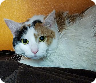 Calico Cat for adoption in Elyria, Ohio - Bella