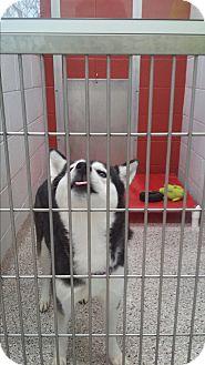 Siberian Husky Mix Dog for adoption in Watha, North Carolina - Heidi
