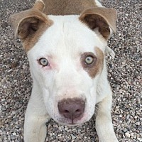 Adopt A Pet :: Abbott - Lubbock, TX