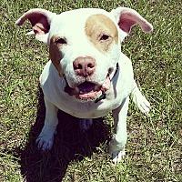 American Bulldog Mix Dog for adoption in Tallahassee, Florida - Herbert