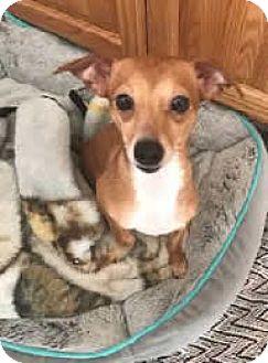Italian Greyhound/Chihuahua Mix Dog for adoption in Avon, New York - Allie