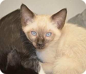 Siamese Kitten for adoption in San Leon, Texas - Bingo