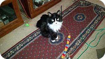 Domestic Longhair Cat for adoption in San Jose, California - Hobo