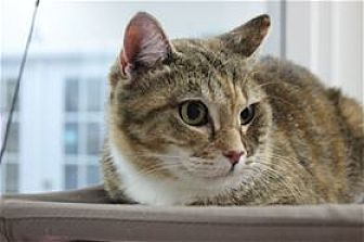 Calico Cat for adoption in Raleigh, North Carolina - Audrey