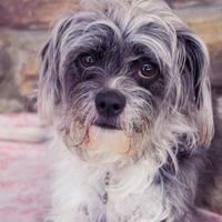 Adopt A Pet :: MIlly - New Freedom, PA