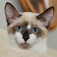 Snowshoe Kitten for adoption in Davis, California - P J Sherman