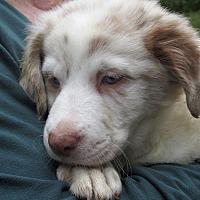 Adopt A Pet :: Josie - Germantown, MD