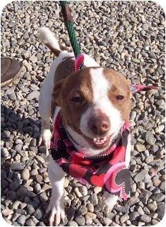 Chihuahua Mix Dog for adoption in Sacramento, California - Stitches